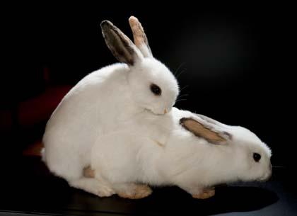 зайченцето бяло прави секс